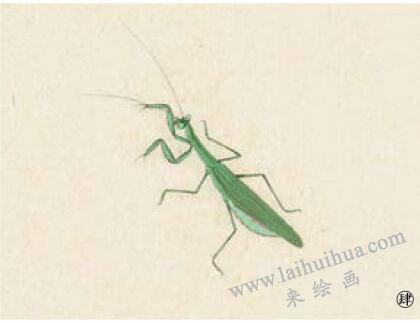 螳螂工笔画法步骤04