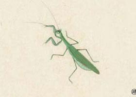螳螂工笔画法步骤