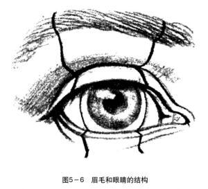 眉毛和眼睛的结构