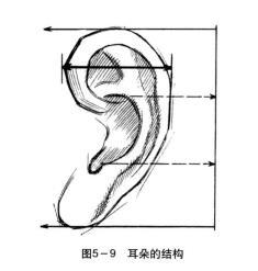 耳朵的结构