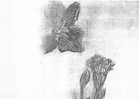 花的素描画法范例(五)