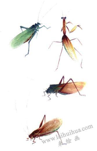 蝗虫、蝈蝈、蚱蜢、蟑螂写意画法