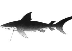 鲨鱼卡通画法