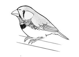 鸣鸟卡通画画法