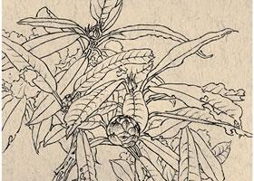 《马缨》白描花卉作品