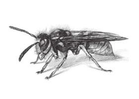 黄蜂的素描画法步骤
