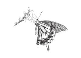 蝴蝶的素描画法步骤