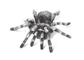 蜘蛛的素描画法步骤