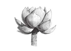 白凤素描画法步骤