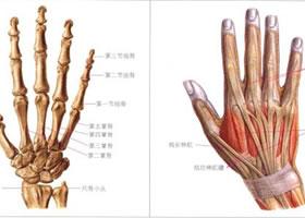 人物手的解剖结构和手的比例造型