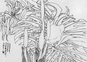 龟背竹白描画法步骤