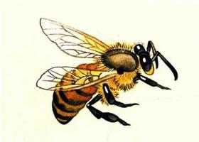 蜜蜂工笔画法(二)