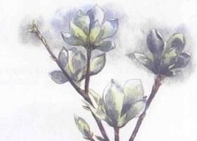 玉兰花的水彩画法步骤图示