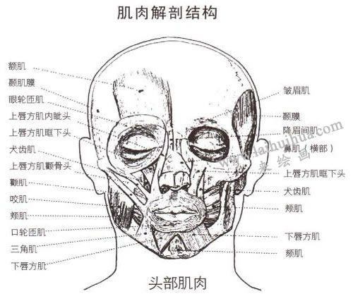 人物头像肌肉解剖结构图