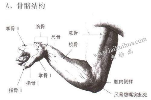人物手臂骨骼结构