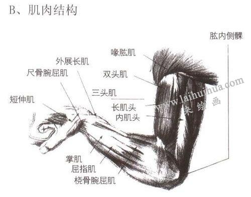 人物手臂肌肉结构