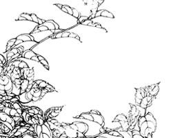 九重葛白描花卉作品