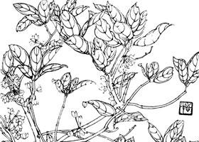 桂花白描花卉作品