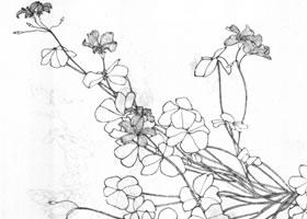 醡浆草白描作品