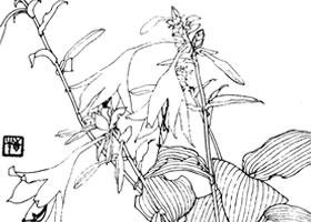 玉簪花白描作品