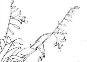 紫萼白描作品