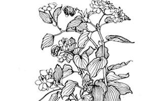 红叶秋海棠白描作品