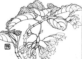 竹节秋海棠白描作品