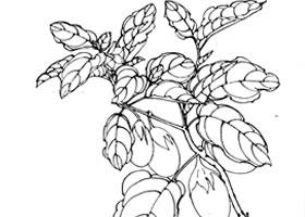 鸡蛋茄子白描作品