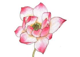 工笔画粉色荷花设色的方法