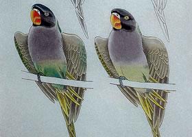 绯胸鹦鹉工笔画设色方法