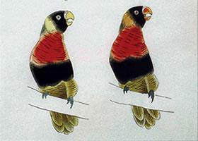 五彩鹦鹉的工笔画设色方法