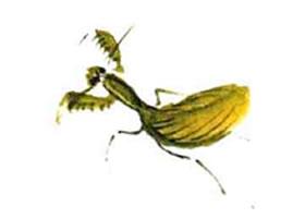 螳螂的小写意画法