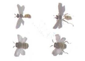 蜜蜂的写意画法(二)