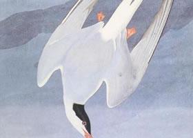约翰•詹姆斯•奥杜邦《北极鸥》水彩石墨画赏析