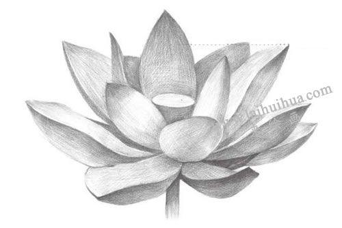 荷花铅笔素描画法步骤图示06