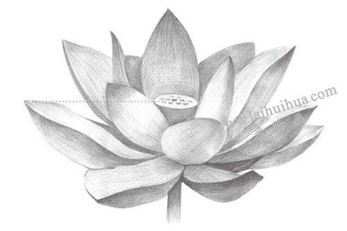荷花铅笔素描画法步骤图示07
