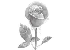 玫瑰花铅笔素描
